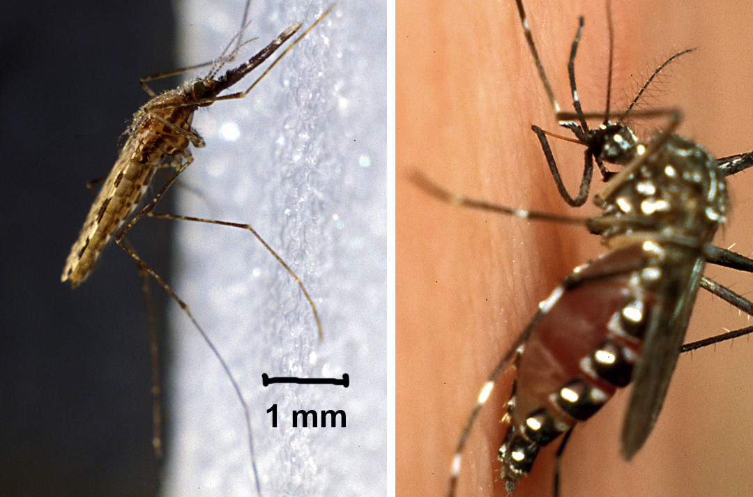 Links: Anopheles gambiae – Rechts: Aedes aegypti
