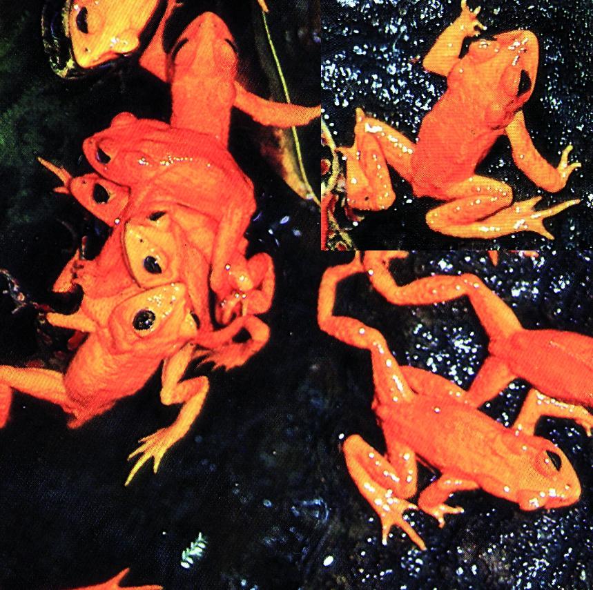 Die Goldkröte – die erste Amphibienart, die infolge des Klimawandels nachweislich ausgestorben ist
